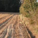 Maisacker grenzt an Hecke