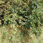 Apfel bald reif