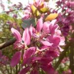 Blutapfelblüte