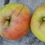 Unbestimmte Apfelsorte