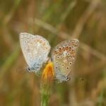 Schmetterlingspaarung - Lycaenidae