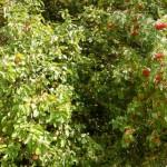 Eberesche-Apfel in Hecke