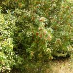 Eberesche-Apfel-Hecke