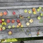 Erntetisch mit Äpfeln quer