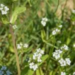 Feldsalat - Valerianella locusta Blüten