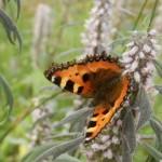 Schmetterling-Herzgespann