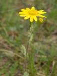 Frühlingsgreiskraut - Senecio vernalis