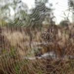 Garten-Kreuzspinne in ihrem Netz
