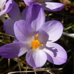 lila-krokus-einzelbluete