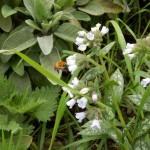 Lungenkraut - Pulmonariablüten und Blätter mit Hummel