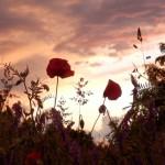 Mohnblüten vor Gewitterhimmel