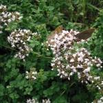 Gewöhnlicher Dost - Origanum vulgare