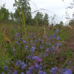 Rundblüttrige Glockenblume - Campanula rotundifolia