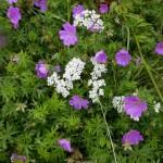 Geranium sanguineum und Valeriana officinalis