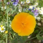 Islandmohn aus der Wiesenblumenmischung