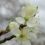 Pflaumenblüte - Prunus domestica