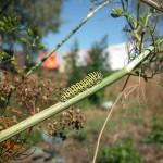Raupe vom Schwalbenschwanz auf Dill im Garten