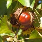 Rosskastanienfrucht hochkant