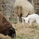 Schafe mit Lamm