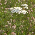 schafgarbe_im_hasenklee Achillea millefolium im Trifolium arvense