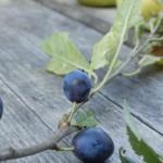 Schlehenfrüchte mit Äpfeln auf Holztisch