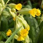 schlüsselblume - Primula