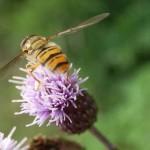 Schwebfliege - Episyrphus auf Flockenblume - Centaurea