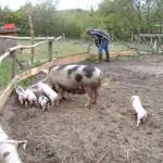 Glueckliche Schweine machen viel Arbeit