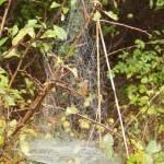 Baldachin-Spinnennetz
