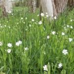 Große Sternmiere - Stellaria holostea - Rasen