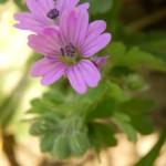 Weicher Storchschnabel - Geranium molle