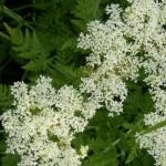 Süßdolde Myrrhis odorata im Garten