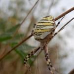 Tigerspinne Wespenspinne oder Zebraspinne - Argiope bruennichi