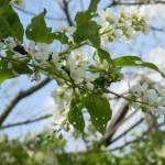 Traubenkirschenblüten