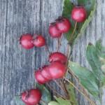 Weissdornfrüchte auf Holztisch hochkant