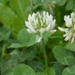 Weissklee - Trifolium repens